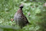 Family Grouse, Hazel Grouse/Tetrastes bonasia